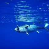 Pollutants In Fish Inhibit Human's Natural Defense System