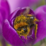 Pesticides could wipe out bumblebee populations, study shows